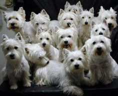 West Highland Terrier Dog Breed Traits Print