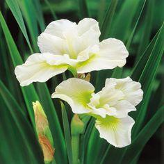 Siberische Schwertlilie Harpswell Happiness - 2 pflanzen: Amazon.de: Garten