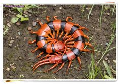 Indian Giant Tiger Centipede | ©Rajas Deshpande (Navi Mumbai, Maharashtra, India) Scolopendra hardwickei (Scolopendridae) is one of the 90 species currently recognized globally in the genus. Particularly, this species is known from India...