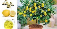 Como plantar um pé de limão a partir das sementes e até dentro de um apartamento!   Cura pela Natureza