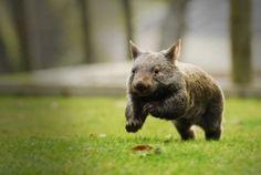 Oh wombats - we love our Ballarat Wildlife Park ones!