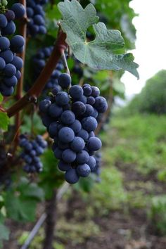 Grapes on the vine, ready for wine?
