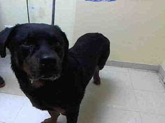 SAFE - 12/18/15 - GEORGE - #A1060062 - Urgent Staten Island - MALE BLACK/BROWN ROTTWEILER MIX, 2 Yrs - STRAY - NO HOLD Intake 12/09/15 Due Out 12/12/15