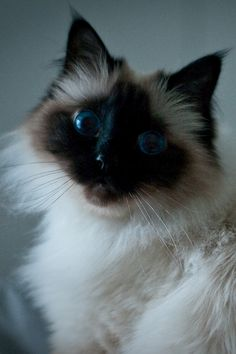 The Funniest Cat Moment - Birman Cat Breed Cute Fluffy Kittens, Cute Cats And Kittens, I Love Cats, Cool Cats, Adorable Kittens, Types Of Cats Breeds, Cat Breeds, Pretty Cats, Beautiful Cats