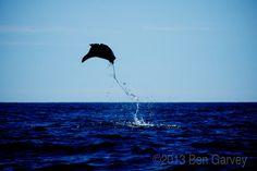 Flying Manta Rays at Espiritu Santo Island, La Paz Baja California Sur Mexico.    Photo by: Ben Garvey.