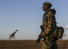 肯尼亚 Kenya 奥佩杰塔 Ol Pejeta 自然保护区,一只长颈鹿从反盗猎武装游击队士兵身后走过,纳纽基 Nanyuki。1999年至2004年间,全球长颈鹿数量已从原本的14万只降至8万只左右。摄影师:Dai Kurokawa