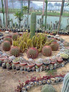 Jardin de cactus heco con cereus, ferocactus y distintas variedades de cactus en maceta chica