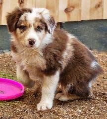 Mott Ranch - Australian Shepherd Puppies