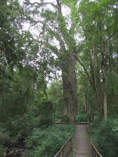 The Big Tree at Tsitsikamma - where 8 men can stand around the base of the tree, hands touching. The tree is over 400 years old.