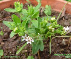 Estévia - Stevia rebaudiana