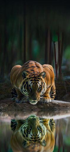 Cat Wallpaper, Wallpaper Quotes, Iphone Wallpaper, Tiger Art, Cats, Tigers, Animals, Wallpapers, Flowers