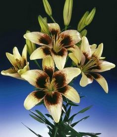 Asiatic Lily Tango Exciting new tow-tone hybrids with dramatic spotted centers. Perfect for adding drama to the garden.