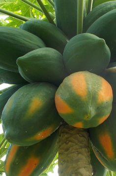 Papaya Plant Tree Recipe Images Tropical Style Fruits Fresh