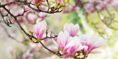Comment planter et tailler un magnolia ?