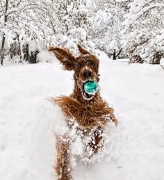 Irish Setter having a blast in the snow!