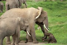 An ivory smuggler was caught in March of He plead guilty to charges of smuggling 439 pieces of. signatures on petition) Big Animals, Animals And Pets, Ivory Trade, Save The Elephants, Gentle Giant, African Elephant, Animal Welfare, Baby Elephant, Shih Tzu