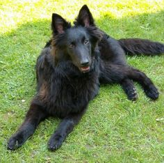 This is a Groenendaeler named Indy - just like Mishka!