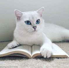 Coby the blue-eyed cat wins over almost 300,000 fans on Instagram and Facebook | Daily Mail Online