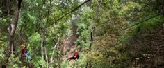 Piiholo Ranch located on Maui offers canopy tours with a choice of 3, 6  or 9 lines. These tours also include aerial canopy bridges! #piiholoranch #maui #zipline #hawaiidiscount