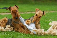 Airedales at Work ;-)