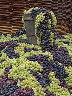 Nadire Atas on Wine Making From Grapes Grapes La Festa Dell'Uva Impruneta Tuscany Italy Grape Festival, Italian Vineyard, Wine Vineyards, Under The Tuscan Sun, Vides, Wine Art, Wine Cheese, Wine Time, Tuscany Italy