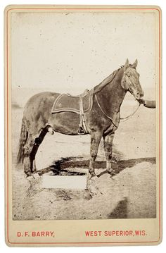 Photograph of Comanche, reportedly he only survivor of the Battle of Little Big Horn. Comanche's body is fully preserved and can be viewed today at the University of Kansas Natural History Museum.