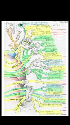 Cranial Nerves Anatomy, Nerve Anatomy, Brain Anatomy, Human Body Anatomy, Human Anatomy And Physiology, Medical Anatomy, Muscle Anatomy, Nursing Student Tips, Nursing Notes