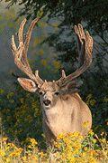 MonsterMuleys.com - Mule Deer, Elk and Western Big Game Hunting Online Magazine Website