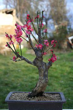 Bonsai Prunus Mume                              É muito difícil para mim escolher qual bonsai colocar em minha pasta.São tão incrivelmente belos e cada um com sua peculiaridade.Ao escolher apenas um sinto que estou desmerecendo os outros que igualmente adoro!