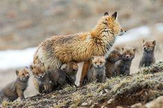 renard-arctique-hiver-02