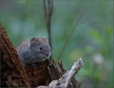 Mouse. VadimTrunov
