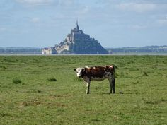 Young cow graze in front of the Mont-Saint-Michel