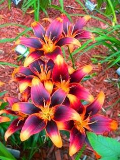 100pcs/bag Multi-color lily seeds, potted Perfume lily flower, garden plant flower seeds (not lily bulbs) DIY bonsai seeds