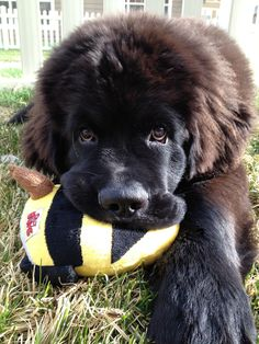 Sweet Newfie Puppy! This little bear is our Atticus!