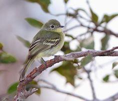 Foto borboletinha-guianense (Phylloscartes virescens) por Anselmo d`Affonseca | Wiki Aves - A Enciclopédia das Aves do Brasil