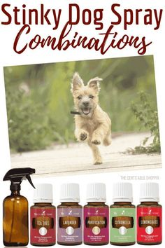 If you have a furry friend, chances are that you love them just as much as your kids. You'll be happy to know that you can use Essential Oils on your pets much the same way that you can use them on yourself...here are some stinky dog recipes to help your Best Smelling Essential Oils, Essential Oils For Dog Smell, Essential Oil Spray, Uses For Essential Oils, Lemongrass Essential Oil Uses, Doterra Essential Oils, Essential Oil Blends, Yl Oils, Purification Essential Oil
