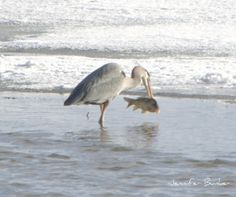 A Great Blue Heron finds a small snack at USFWS Bear River Migratory Bird Refuge in Utah. Photo: Jennifer Bunker