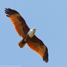 eagle, white headed eagle, bald eagle