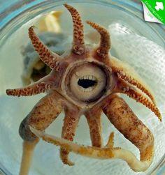 Promachoteuthis sulcus. Espécie de lula do género Promachoteuthidae. Distingue-se por várias características morfológicas: fusão entre cabeça e manto, grande dimensão das ventosas do braço, grande comprimento da base dos tentáculos, e presença de um sulco tentacular aboral.
