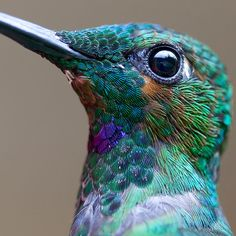Extreme close-up of a Green-Crowned Brilliant Hummingbird.  Absolutely peacock-gorgeous!