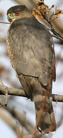 Cooper's Hawk - Wikipedia, the free encyclopedia.  We've got a pair of these birds living by us.
