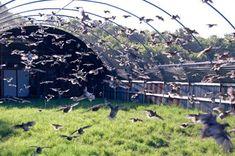 Flight pen for quail Raising Quail, Raising Farm Animals, Raising Chickens, Quail Pen, Quail Coop, Backyard Farming, Chickens Backyard, Backyard Poultry, Vivarium