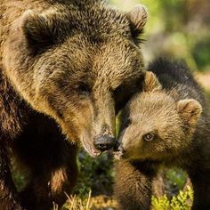 "825 Likes, 12 Comments - SAVEBEAR (@we_love_bear_) on Instagram: ""Posted by @bears.for.you  DoubleTap & Tag a Friend Below⤵   : @belovedbears   #grizzlybear…"""