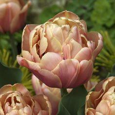 Tulipa 'La Belle Epoque'