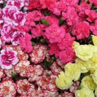 Bulk Mini Carnations.  Starting at $98.95.  Use Bulk Mini Carnations to add  color to your arrangements and bouquets!      Common Names: Mini Carnation, Spray Carnation, Pixie Carnation