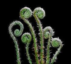 Fiddlehead ferns  for centerpieces - make with wire? Covered with floral tape?
