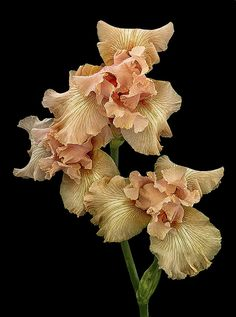 photo: Don Rice. Wonderful Flowers, Rare Flowers, Iris Flowers, Exotic Flowers, Wild Flowers, Planting Flowers, Beverly Sills, Color Of The Day, Goddess Art