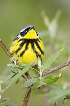 301V5093 Magnolia Warbler by BobLewis, via Flickr