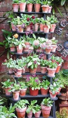 A theatre of auriculas...stunning!