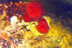Tomates de mar (Actinia equina) con Cangrejo Araña (Percnon gibbesi) acuario mediterráneo 2007